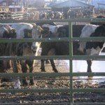 Court Victory Against Water Polluting CAFO (Concentrated Animal Feeding Operation)