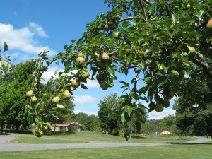 Tree branch laden with Barlett pears