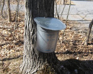 Maple sugar open house at Five Rivers Environmental Education Center outside Albany, NY: Tapping a sugar maple the old fashioned way