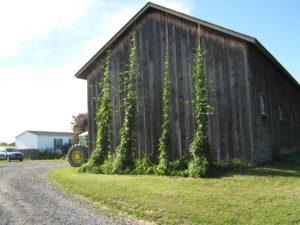 Roxbury Farm cultivating hops on the sunny side of a farm building.