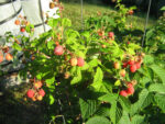 Home-Grown Raspberries Make It A Cinch To Meet Recommended Dietary Guidelines